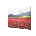 Cheerful tulip fields carpet Skagit Valley in Canvas Prints