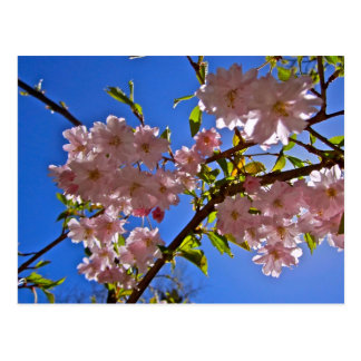Cheery Cherry Blossoms Postcard