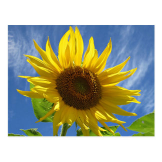 Cheery Sunflower Postcard
