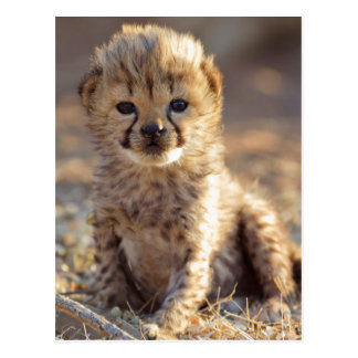 Cheetah 19 days old male cub postcard