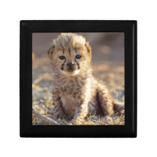 Cheetah 19 days old male cub small square gift box
