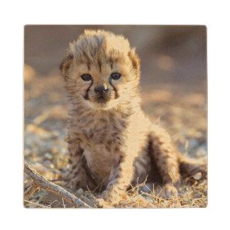 Cheetah 19 days old male cub wood coaster