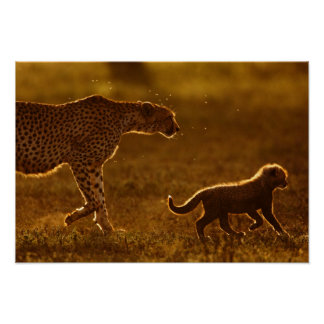 Cheetah (Acinonyx Jubatus) And Cub Walking Poster