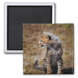 Cheetah (Acinonyx Jubatus) as seen in the Masai 2 Square Magnet