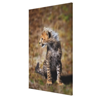 Cheetah (Acinonyx Jubatus) as seen in the Masai 2 Stretched Canvas Prints