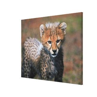 Cheetah (Acinonyx Jubatus) as seen in the Masai 3 Canvas Prints