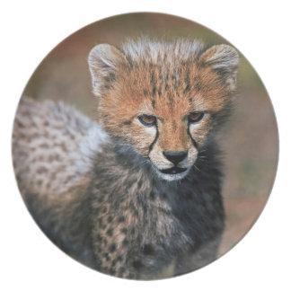 Cheetah (Acinonyx Jubatus) as seen in the Masai 3 Party Plates