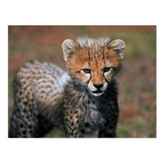 Cheetah (Acinonyx Jubatus) as seen in the Masai 3 Postcard
