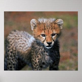 Cheetah (Acinonyx Jubatus) as seen in the Masai 3 Poster