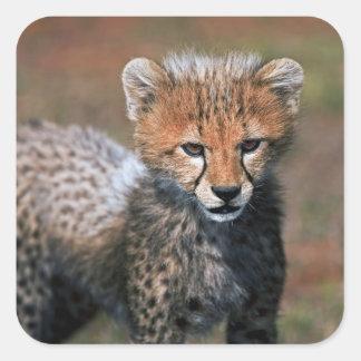Cheetah (Acinonyx Jubatus) as seen in the Masai 3 Square Sticker