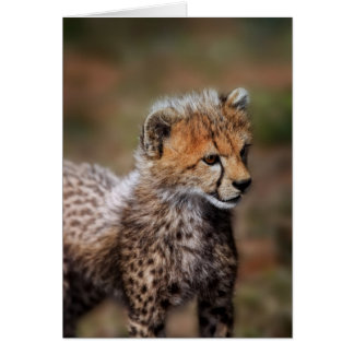 Cheetah (Acinonyx Jubatus) as seen in the Masai Card