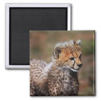 Cheetah (Acinonyx Jubatus) as seen in the Masai Magnet