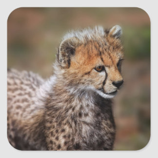 Cheetah (Acinonyx Jubatus) as seen in the Masai Square Sticker