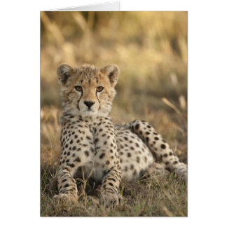 Cheetah, Acinonyx jubatus, cub laying downin Card