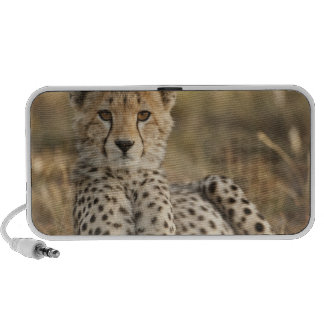 Cheetah, Acinonyx jubatus, cub laying downin PC Speakers