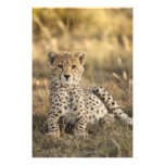 Cheetah, Acinonyx jubatus, cub laying downin Photo Art