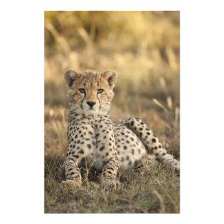 Cheetah Acinonyx jubatus cub laying downin Photo Print