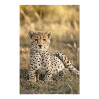 Cheetah, Acinonyx jubatus, cub laying downin Photo Print