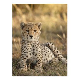 Cheetah, Acinonyx jubatus, cub laying downin Postcard