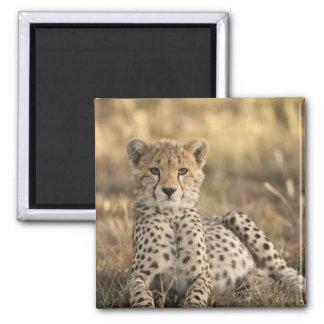 Cheetah, Acinonyx jubatus, cub laying downin Square Magnet