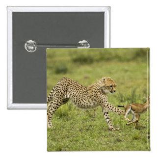 Cheetah, Acinonyx jubatus, cubs hunting and 15 Cm Square Badge
