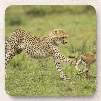 Cheetah Acinonyx jubatus cubs hunting and Drink Coasters