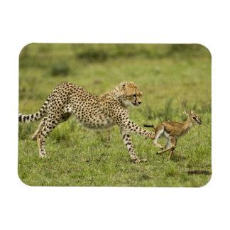 Cheetah, Acinonyx jubatus, cubs hunting and Magnet