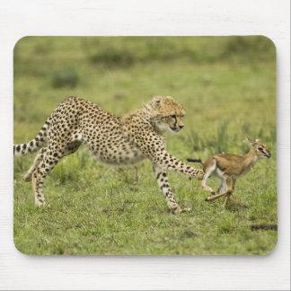 Cheetah Acinonyx jubatus cubs hunting and Mousepad