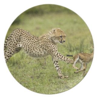Cheetah, Acinonyx jubatus, cubs hunting and Party Plates