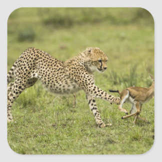Cheetah, Acinonyx jubatus, cubs hunting and Square Sticker