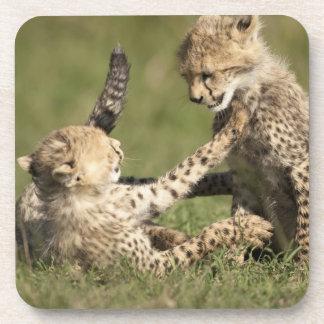 Cheetah Acinonyx jubatus cubs playing in the Drink Coaster