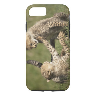 Cheetah, Acinonyx jubatus, cubs playing in the iPhone 7 Case