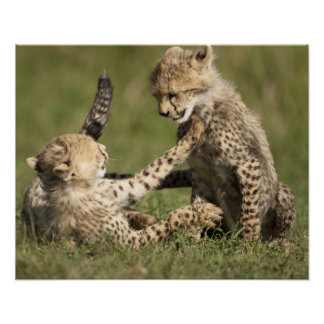 Cheetah, Acinonyx jubatus, cubs playing in the Poster