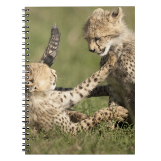 Cheetah, Acinonyx jubatus, cubs playing in the Spiral Note Book