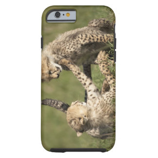 Cheetah, Acinonyx jubatus, cubs playing in the Tough iPhone 6 Case