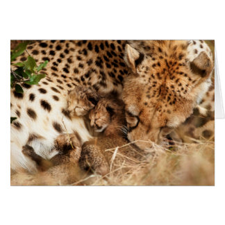 Cheetah (Acinonyx Jubatus) Grooming One-Day Old Card