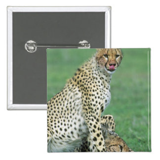 Cheetah Acinonyx jubatus) Grown cubs eating 15 Cm Square Badge