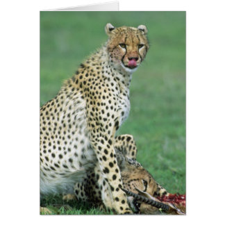 Cheetah Acinonyx jubatus) Grown cubs eating Card