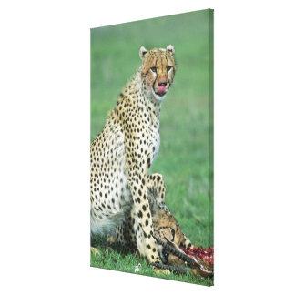 Cheetah Acinonyx jubatus) Grown cubs eating Gallery Wrapped Canvas