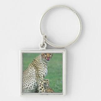 Cheetah Acinonyx jubatus) Grown cubs eating Key Chain