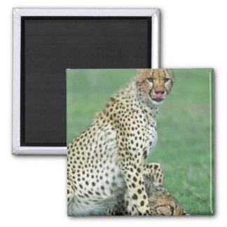 Cheetah Acinonyx jubatus) Grown cubs eating Magnet