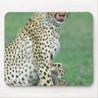 Cheetah Acinonyx jubatus Grown cubs eating Mouse Pads