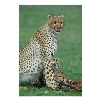 Cheetah Acinonyx jubatus) Grown cubs eating Poster