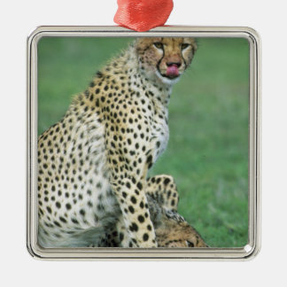 Cheetah Acinonyx jubatus) Grown cubs eating Silver-Colored Square Decoration