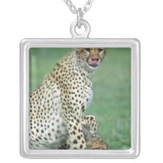 Cheetah Acinonyx jubatus) Grown cubs eating Silver Plated Necklace