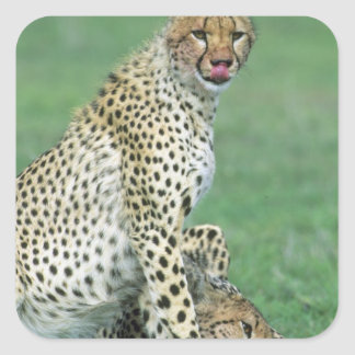 Cheetah Acinonyx jubatus) Grown cubs eating Square Sticker