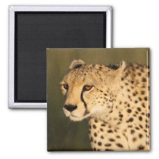 Cheetah Acinonyx jubatus in the Masai Mara 2 Fridge Magnet