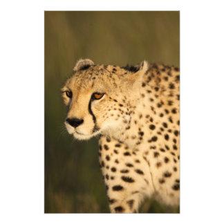 Cheetah, Acinonyx jubatus, in the Masai Mara 2 Photo