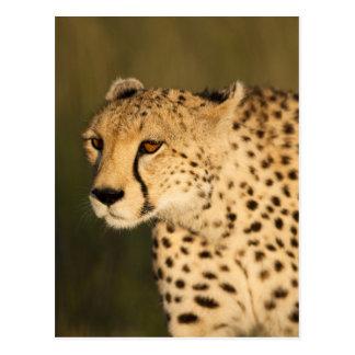 Cheetah, Acinonyx jubatus, in the Masai Mara 2 Postcard