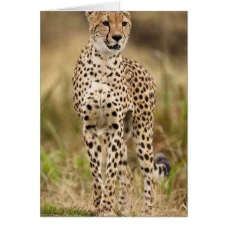 Cheetah, Acinonyx jubatus, in the Masai Mara Card
